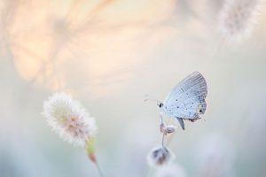 bialy motyl
