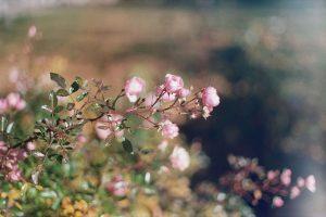 rozowa roza